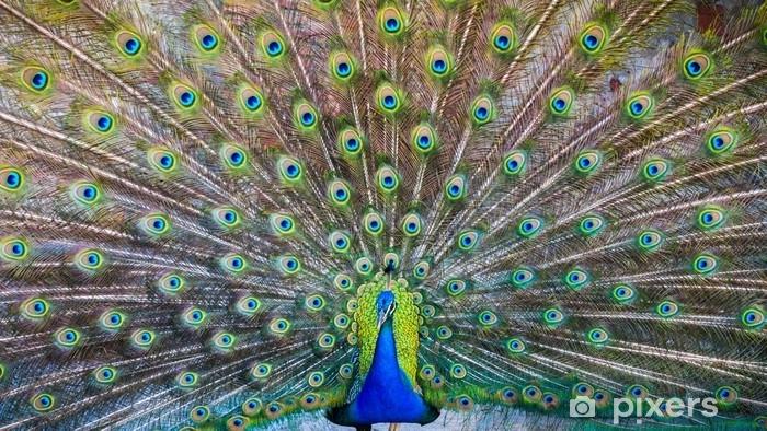 Papier peint vinyle Un beau paon mâle avec des plumes expansées - Animaux
