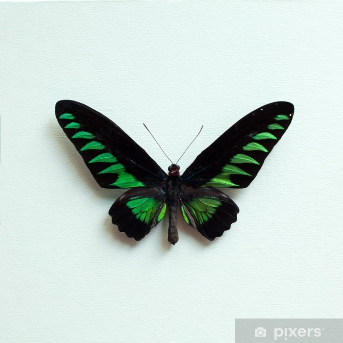 Tropical butterfly Poster - Animals