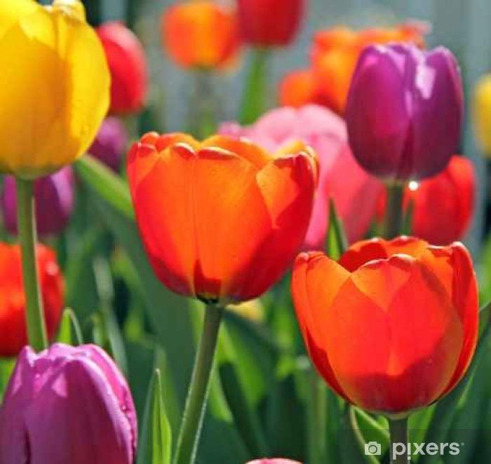 Naklejka Pixerstick Kolorowe tulipany wiosna - Rośliny i kwiaty