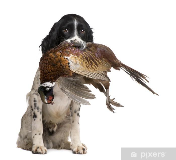 English Springer Spaniel Hunting 1