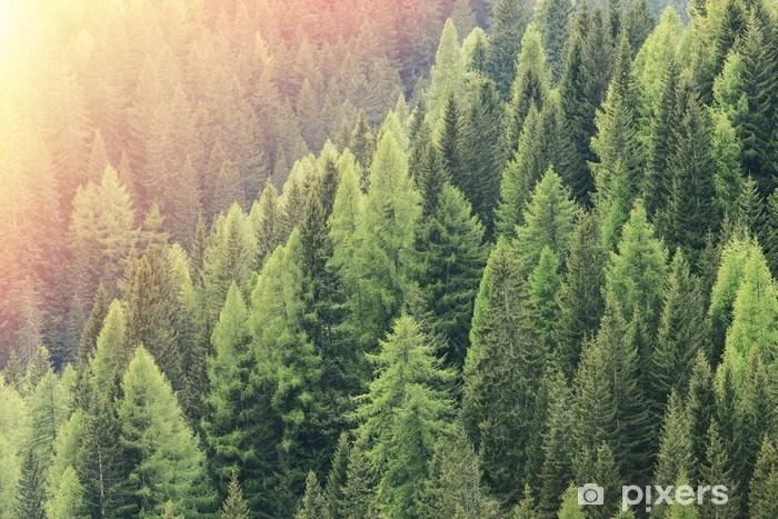 Fototapeta winylowa Czarodziejski las oświetlony przez światło słoneczne. Iglasty las regionu. - Krajobrazy