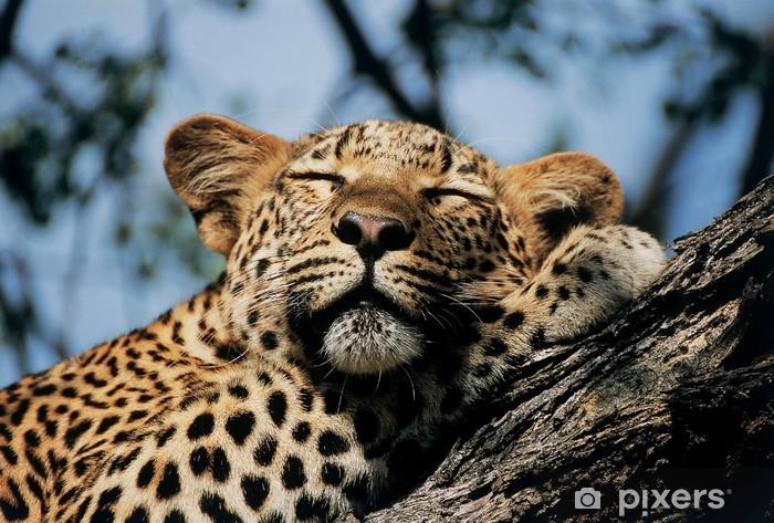 Fototapeta winylowa Spanie Leopard - Afryka