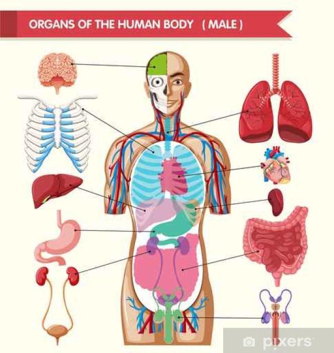 sticker grafiek toont de organen van het menselijk lichaam • pixers