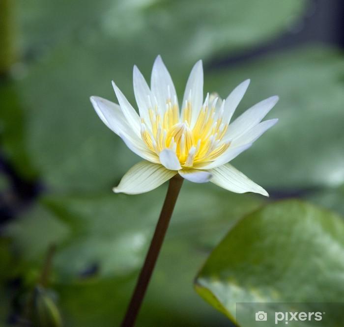 Fototapeta winylowa Seerose; Nymphaea x daubenyana - Kwiaty