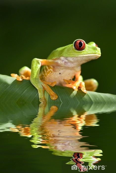 Red eye tree frog Agalycnis callidryas from Costa Rica Pixerstick Sticker - Other Other