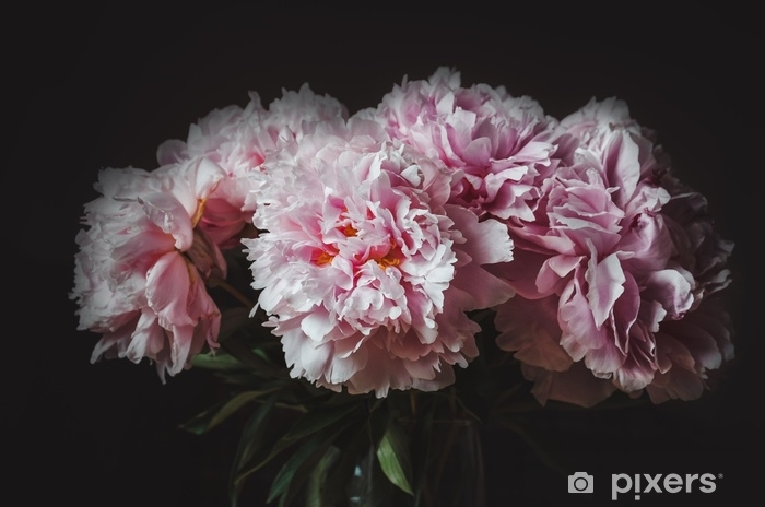 Pixerstick Sticker Mooi boeket van roze pioenroos bloem op zwarte achtergrond. pioenrozen zomer. hou van bloemen. macro afbeelding. kaart, tekst, kopie ruimte. - Bloemen en Planten