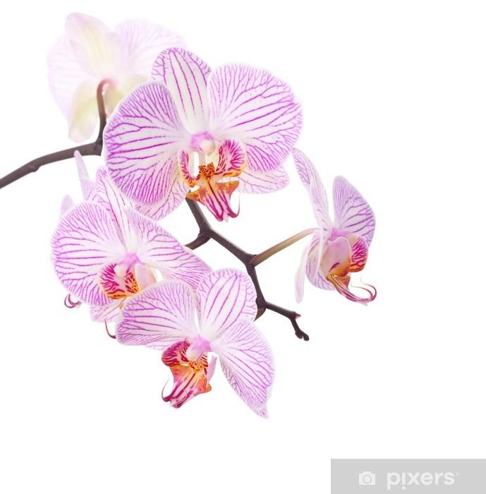 Sticker Orchidée rose et blanche, isolée sur blanc. Pixerstick