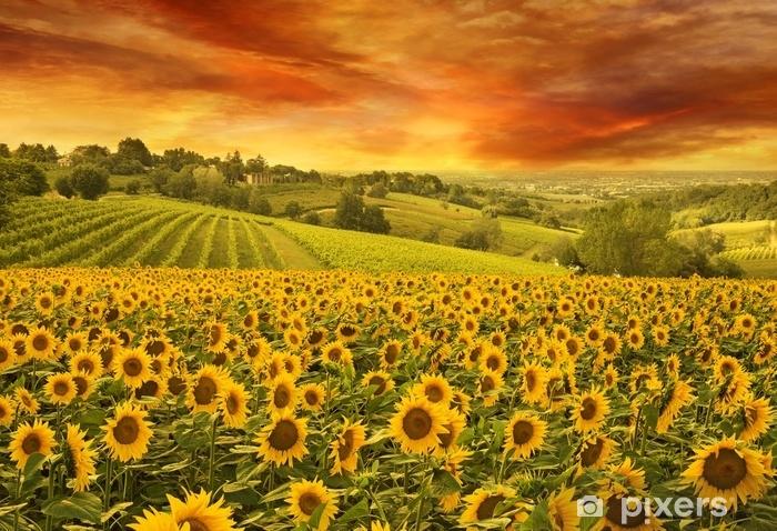 Fototapeta winylowa Słoneczniki pole w włoskim wzgórzu przy zmierzchem - Krajobrazy