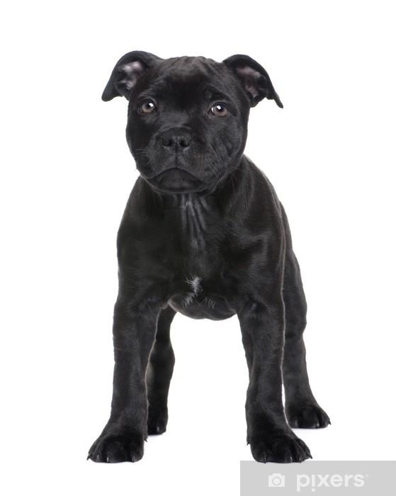 d5197fa0825 Vinylová fototapeta Štěně Staffordshire Bull Terrier (2 měsíce) - Vinylová  fototapeta
