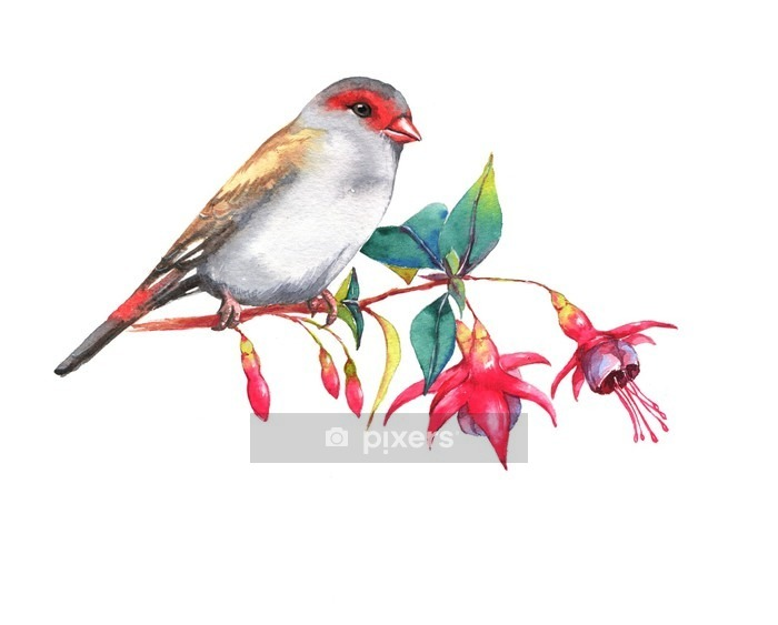 Hand-drawn watercolor illustration of the red-browed finch on the branch of fuchsia flowers. Wild colorful bird drawing. Nature isolated illustration Wall Decal - Animals