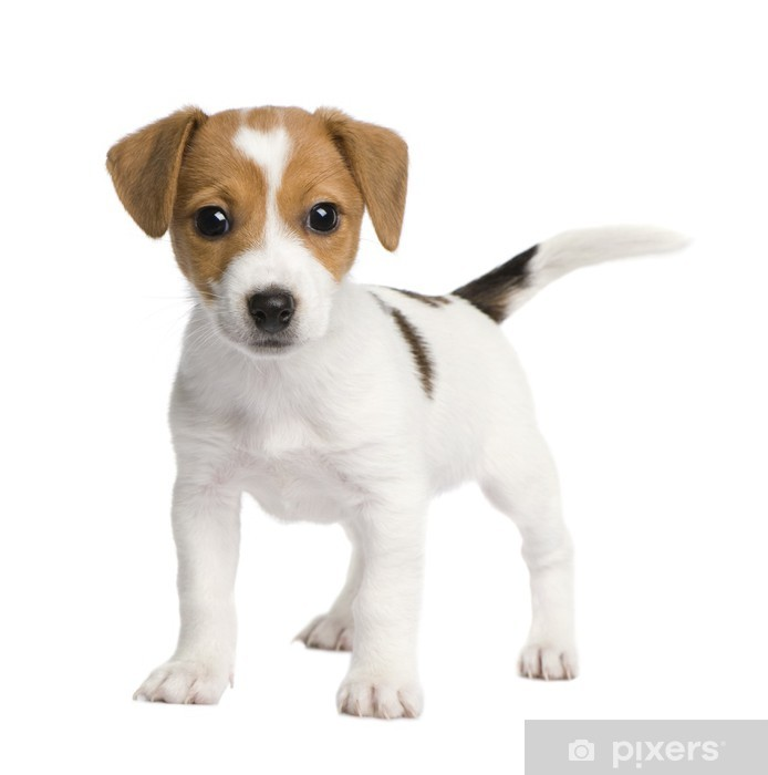 Papier peint vinyle Puppy Jack russell (7 weeks) - Mammifères