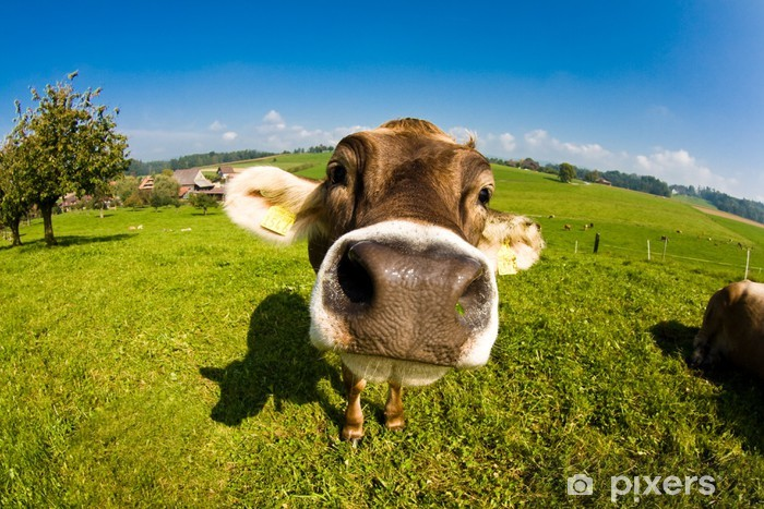 Fototapeta winylowa Krowa, zabawny nos fisheye bliska - Ssaki