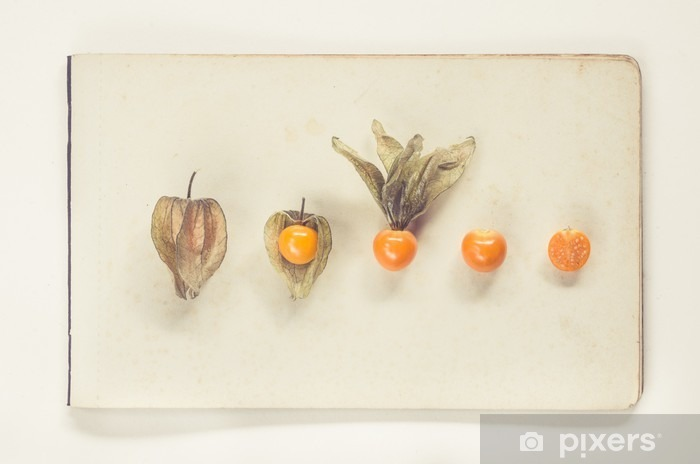physalis lying on sheets of vintage paper - natural history book style Pixerstick Sticker - Food