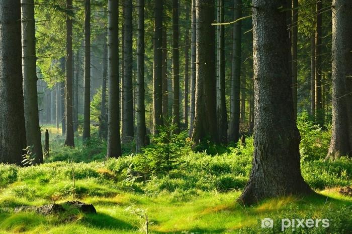Pixerstick Sticker Unberührter naturnaher fichtenwald im warmen licht der morgensonne - Landschappen