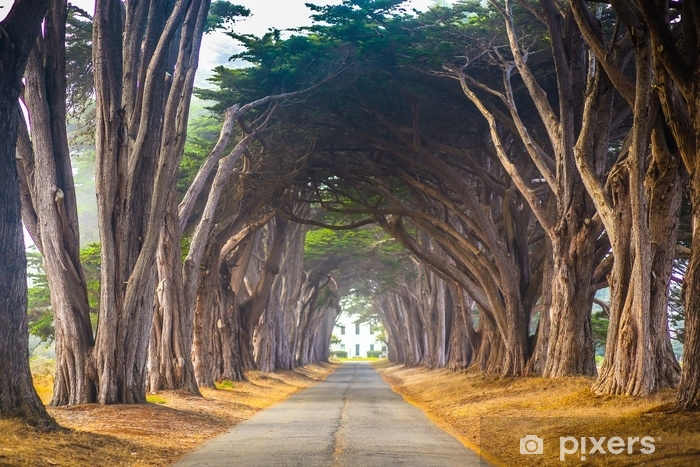 Point Reyes Cyress Tree Tunnel Vinyl Wall Mural - Landscapes