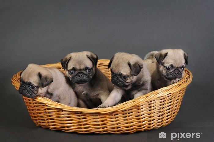 Vinyl Fotobehang Vier pug puppies. - Mopshonden