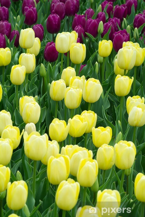 Vinylová fototapeta Žluté tulipány - Vinylová fototapeta