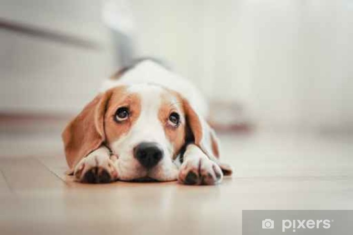 Vinyl Fotobehang Beagle - Dieren