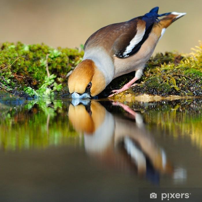 Poster Hawfinch reflétant dans l'eau potable - Thèmes