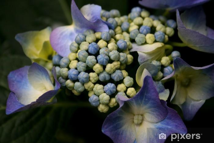 Blaue Hortensie Hydrangea Macrophylla Wall Mural Pixers We