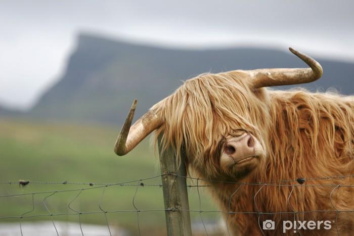 Fototapeta winylowa Szkocka krowa wyżynna - Ssaki