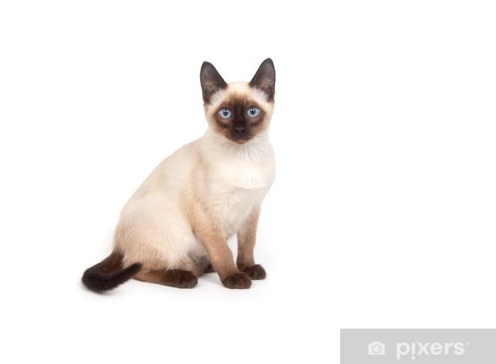 Carta Da Parati Un Gatto Siamese Con Gli Occhi Blu Su Sfondo Bianco