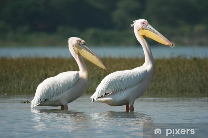 Fototapet av Vinyl 2 Pelicans au lac Naivasha - Kenya - Däggdjur