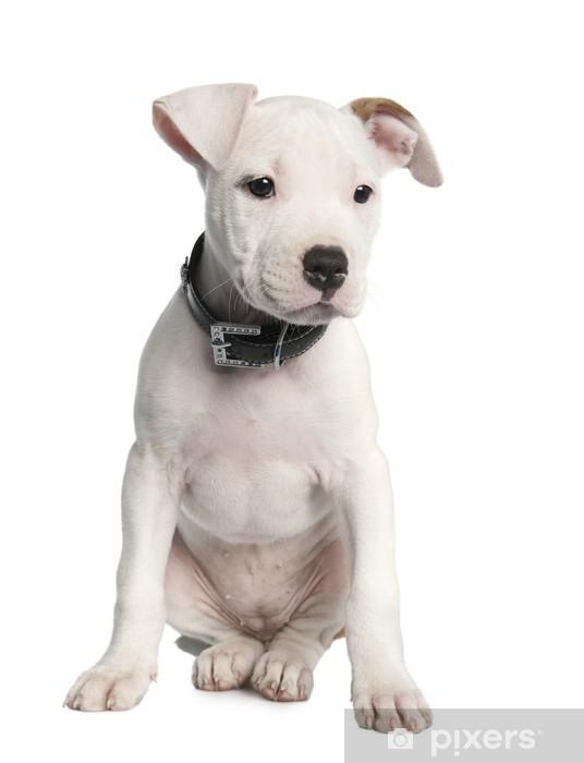 Fototapete American Staffordshire Terrier Welpen 2 Monate