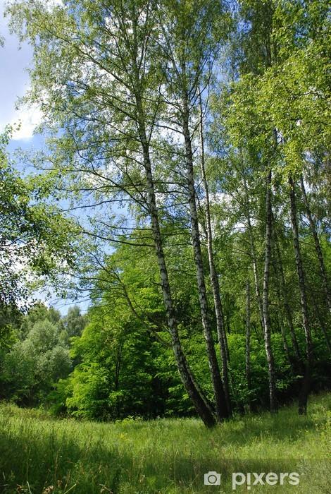 Naklejka Pixerstick Brzoza drzew na czas letni - Drzewa