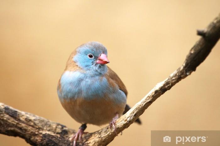 Naklejka Pixerstick Astrild niebieski - Ptaki
