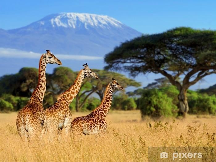 Çıkartması Pixerstick Kilimanjaro mount arka plan üzerinde üç zürafa - Hayvanlar