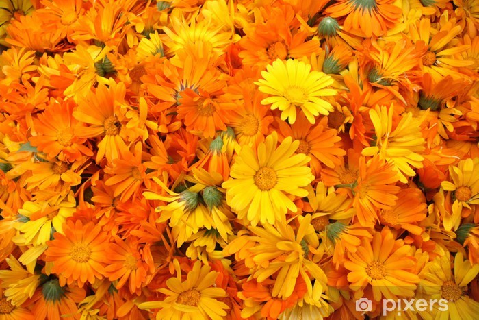 Great Number of Orange Calendula Vinyl Wall Mural - Flowers