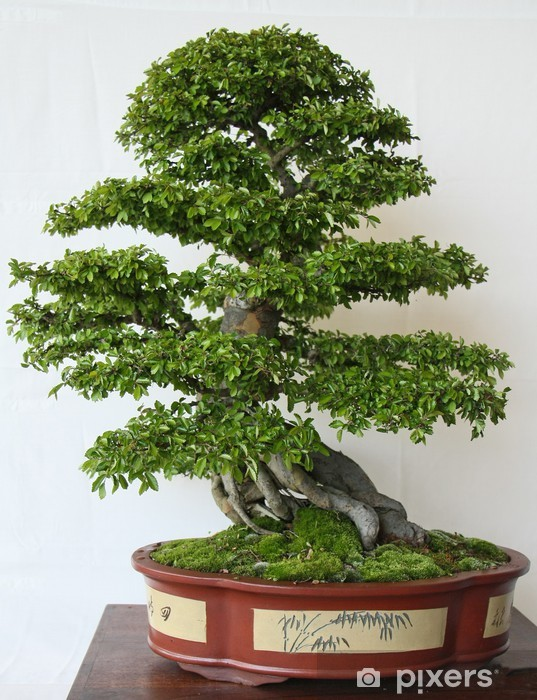 Fototapeta winylowa Drzewa bonsai - Drzewa