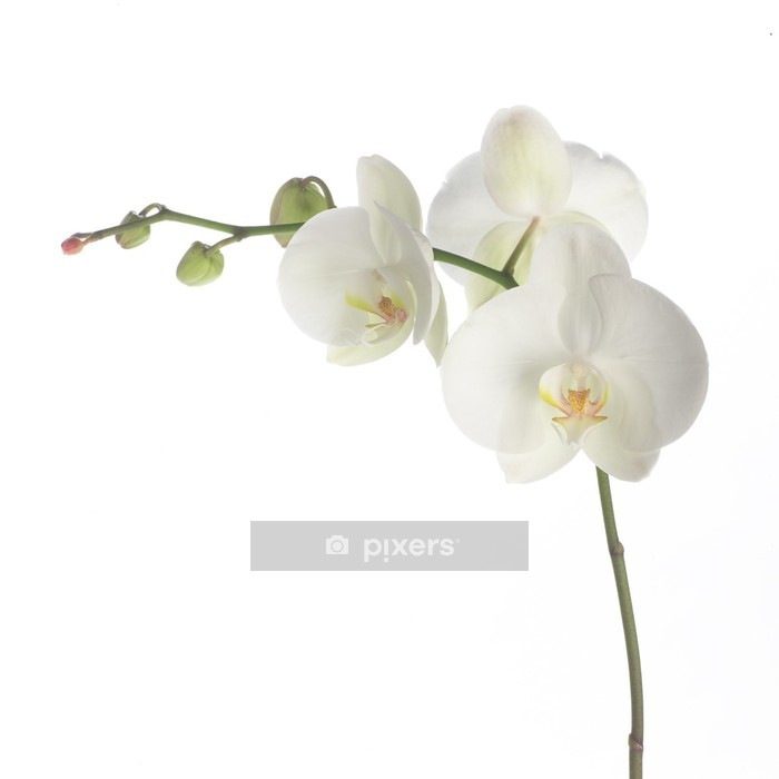 white orchid Wall Decal - Wall decals