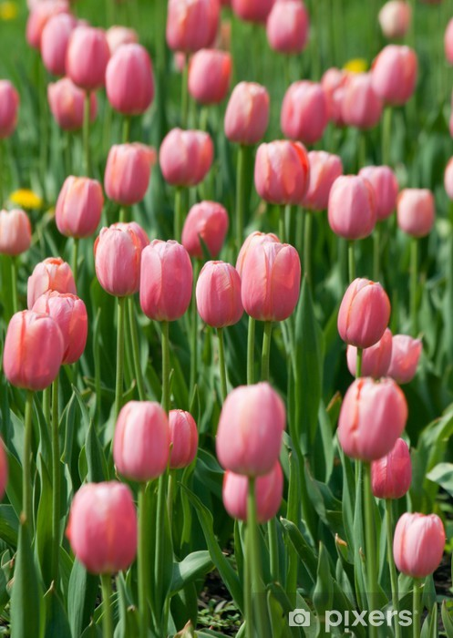 blossoming pink tulips Pixerstick Sticker - Themes