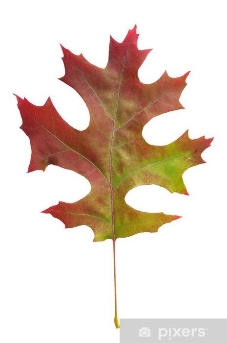 Kızıl Meşe Yaprağı Quercus Coccinea Muenchh Duvar Resmi Pixers