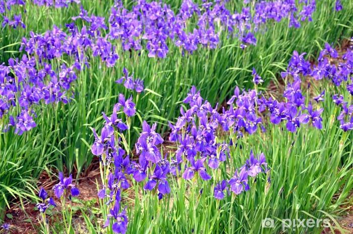 Fototapeta winylowa Niebieskie tęczówki kwiaty - Kwiaty