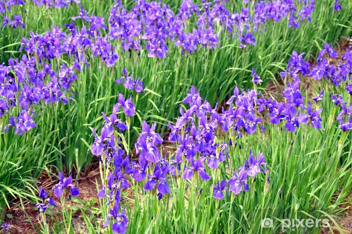 Papier peint vinyle Fleurs bleu iris - Fleurs