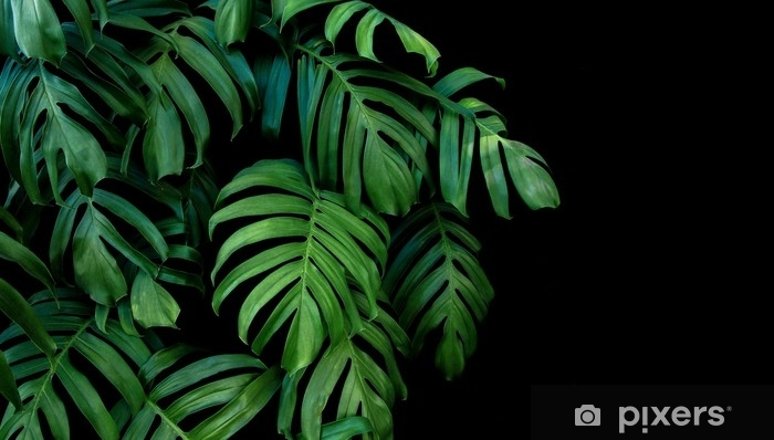 Green leaves of Monstera plant growing in wild, the tropical forest plant, evergreen vine on black background. Vinyl Wall Mural - Plants and Flowers