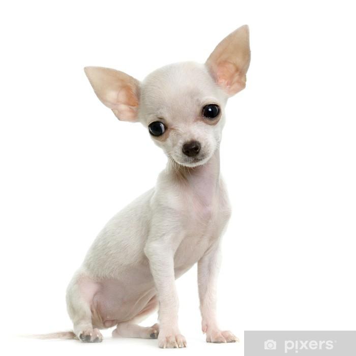 Fototapeta winylowa Chihuahua - Tematy