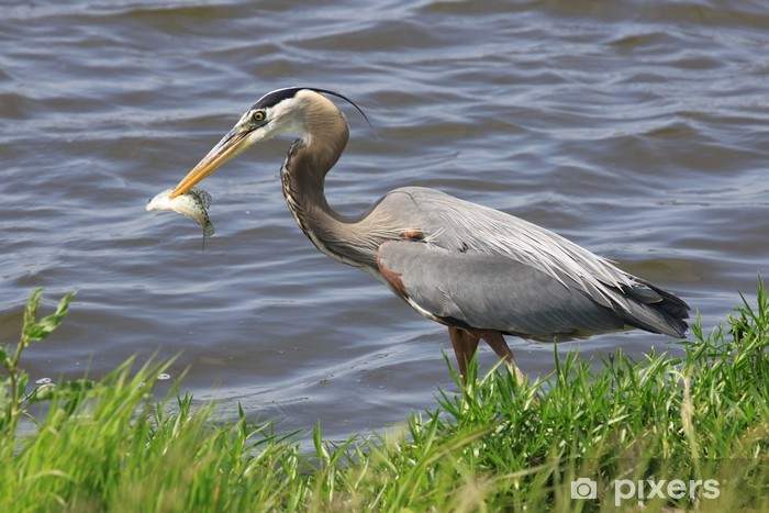 Fototapeta winylowa Spear fishing - Ptaki