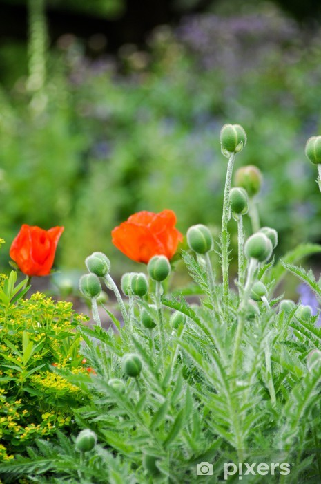 Papier peint vinyle Rote Mohnblumen auf der Wiese - Fleurs