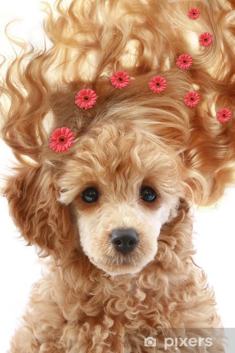 Fototapeta winylowa Mały szczeniak pudel morelowy z długimi włosami - Moda