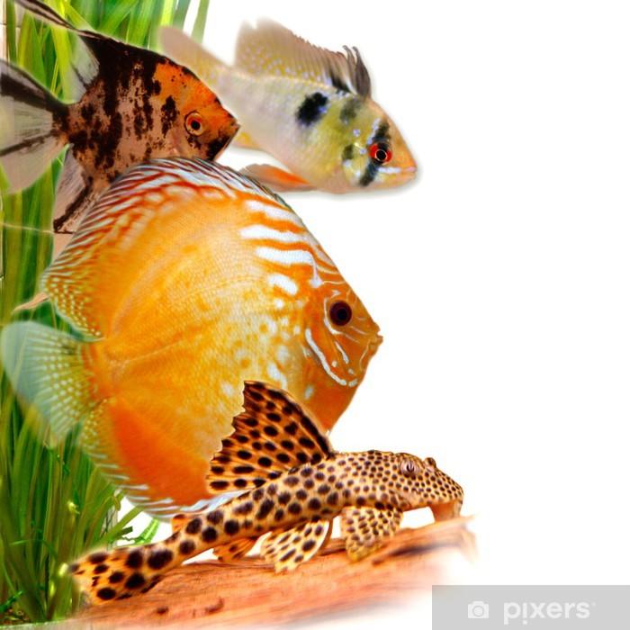 Fototapeta winylowa Ryby ozdobne - Zwierzęta żyjące pod wodą