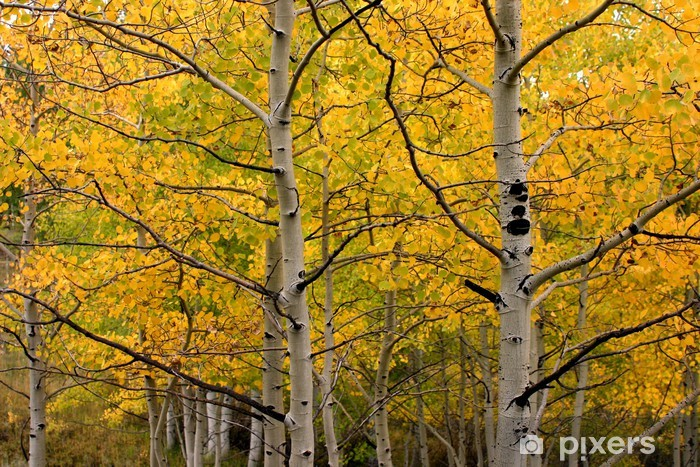 Papier peint vinyle Aspen Grove - Forêt