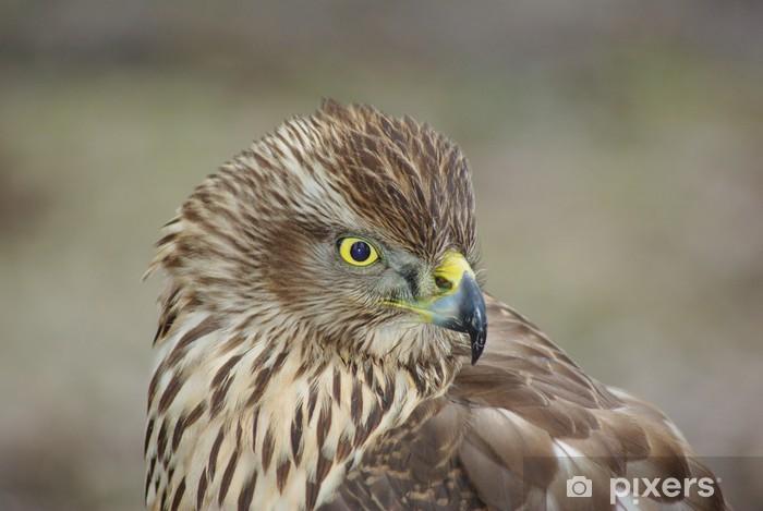 Fototapeta winylowa Jastrząb gołębiarz - Ptaki