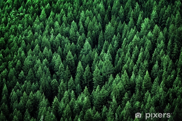 Carta da Parati in Vinile Foresta di pini in montagne selvagge - Panorami