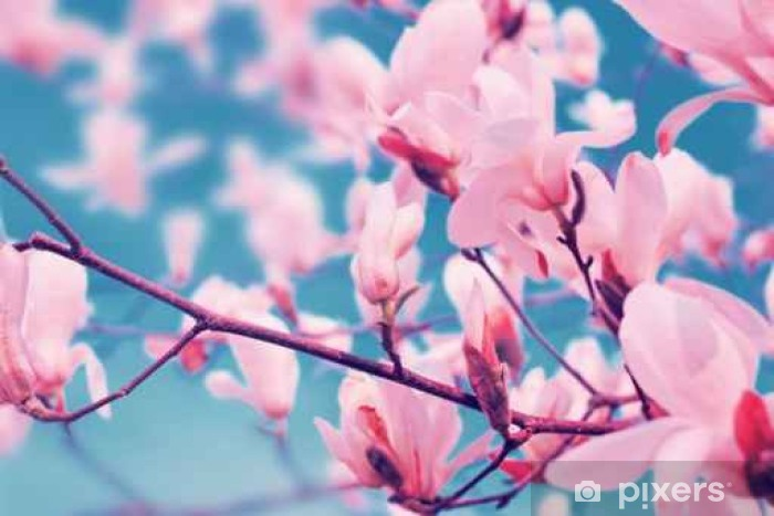Vinilo Pixerstick Magnolia flores floreciendo en la primavera. - Plantas y flores