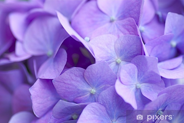 青紫のアジサイ Pixerstick Sticker - Flowers
