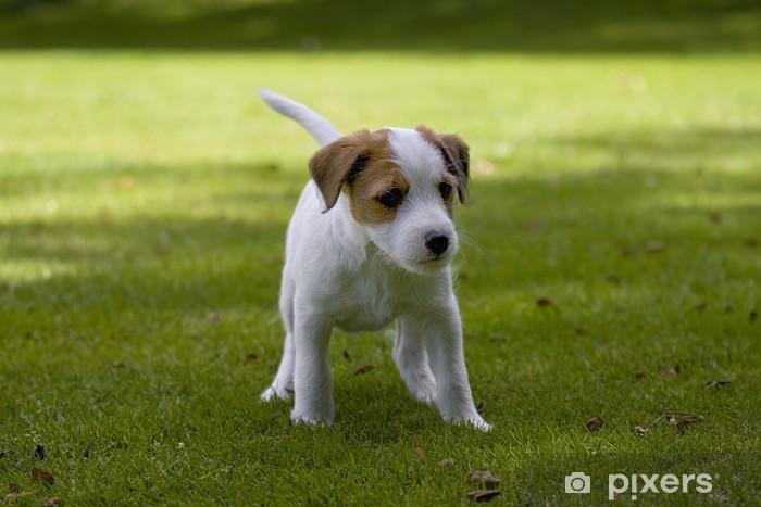 Parson Jack Russell Terrier Jack Russel Terrier Welpe Wall Mural Pixers We Live To Change